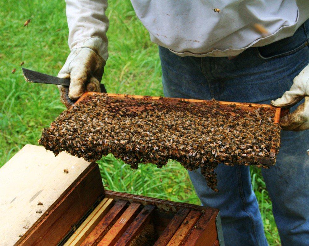 חלת דבש מלאה בדבורים