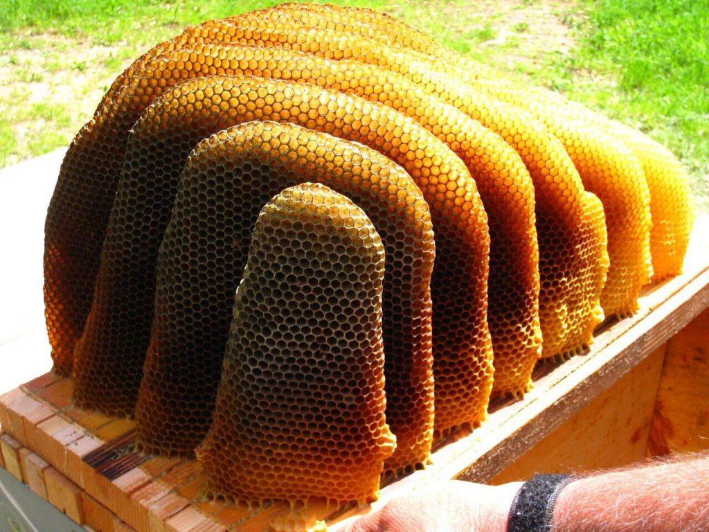 חלת דבורים בטבע